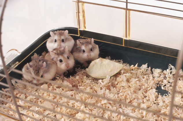jeunes hamsters dans leur cage